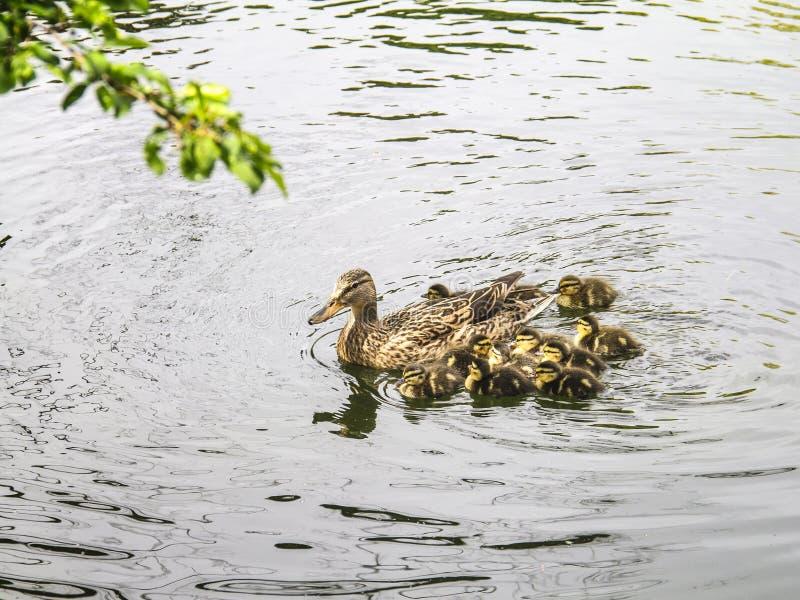 Famille des canards dans le lac photos libres de droits