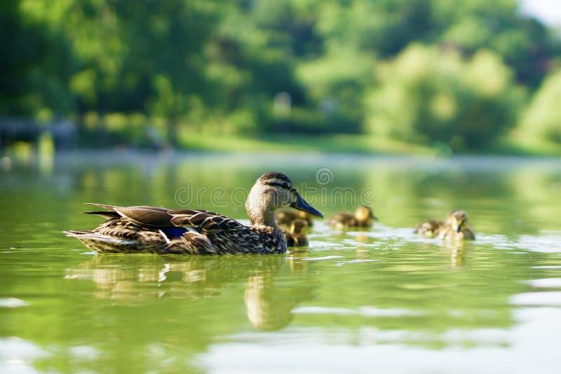 Famille des canards sauvages nageant sur un étang vert photos stock