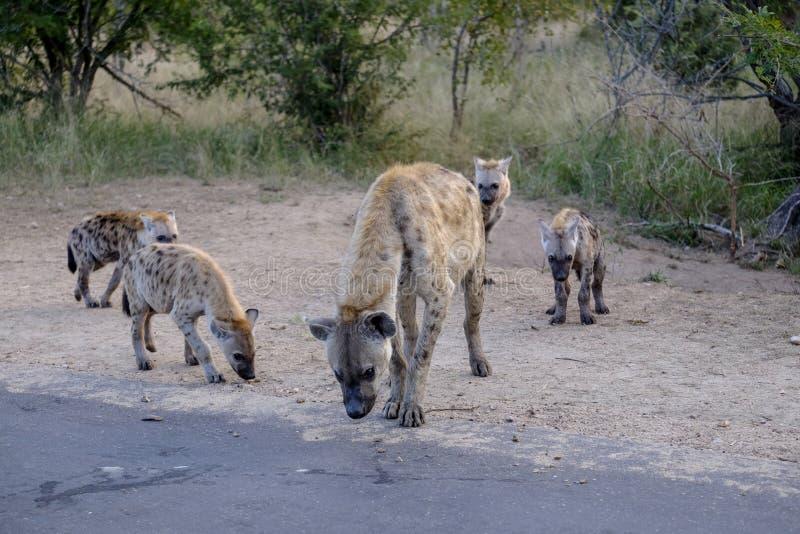 Famille des hyènes et des petits animaux photos libres de droits