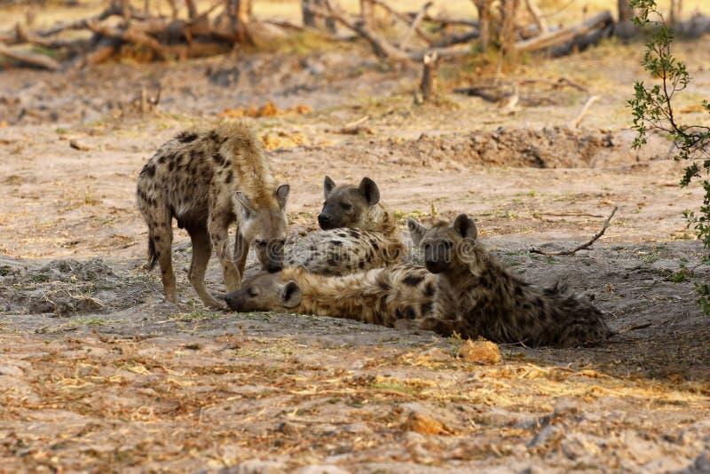 Famille des hyènes repérées image libre de droits