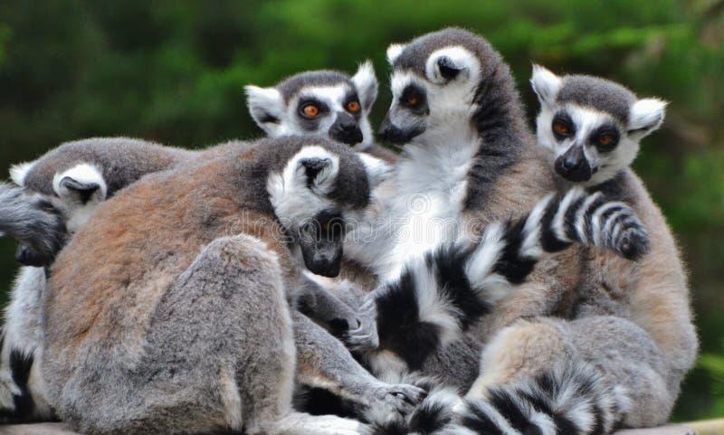 Famille des lémurs anneau-coupés la queue photo stock