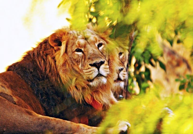 Famille des lions de Barbarie se reposant sur une roche photographie stock libre de droits