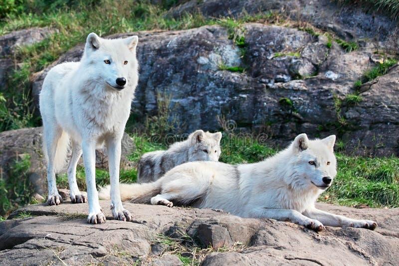Famille des loups arctiques images libres de droits