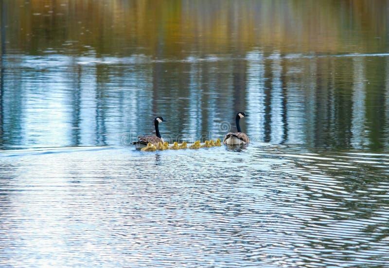 Famille des oies dans Manitoba, Canada image libre de droits