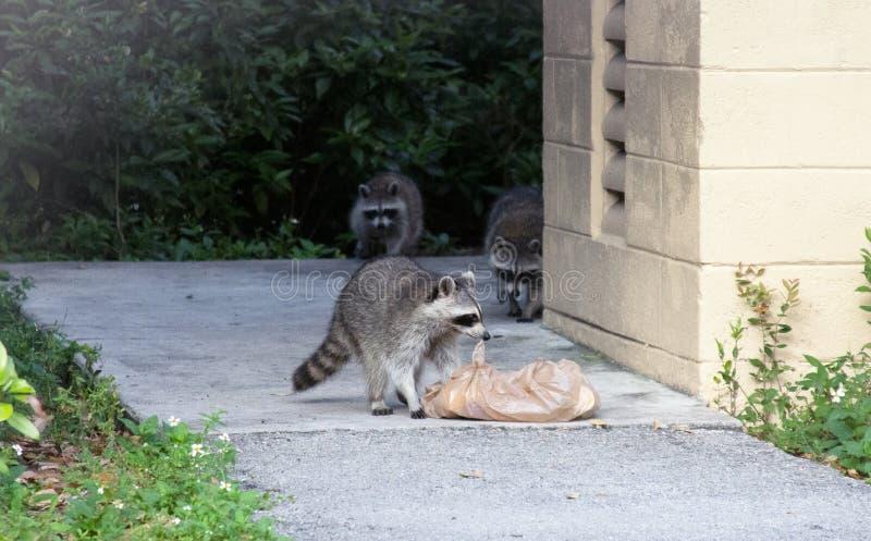 Famille des ratons laveurs recherchant la nourriture photographie stock