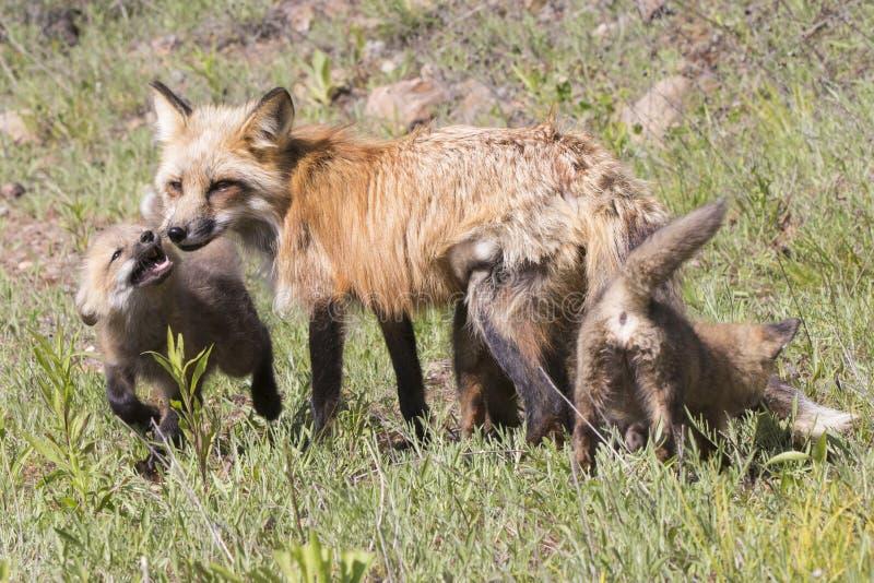 Famille des renards rouges recueillant dans le pré photo libre de droits
