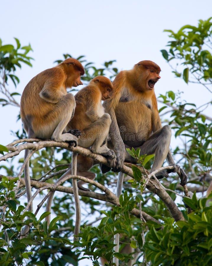 Famille des singes de buse se reposant dans un arbre dans la jungle l'indonésie L'île du Bornéo Kalimantan photographie stock