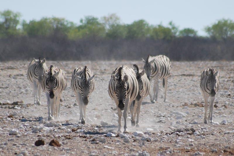 Famille des zèbres sur leur chemin au point d'eau images stock