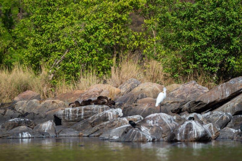 Famille enduite lisse de pers de Lutrogale de loutre se dorant en soleil sur des roches après la prise de l'immersion dans l'eau  photo libre de droits