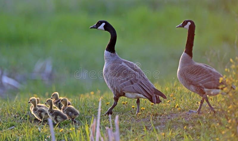 Famille fière d'oies de Canada marchant ensemble dans un pré image libre de droits
