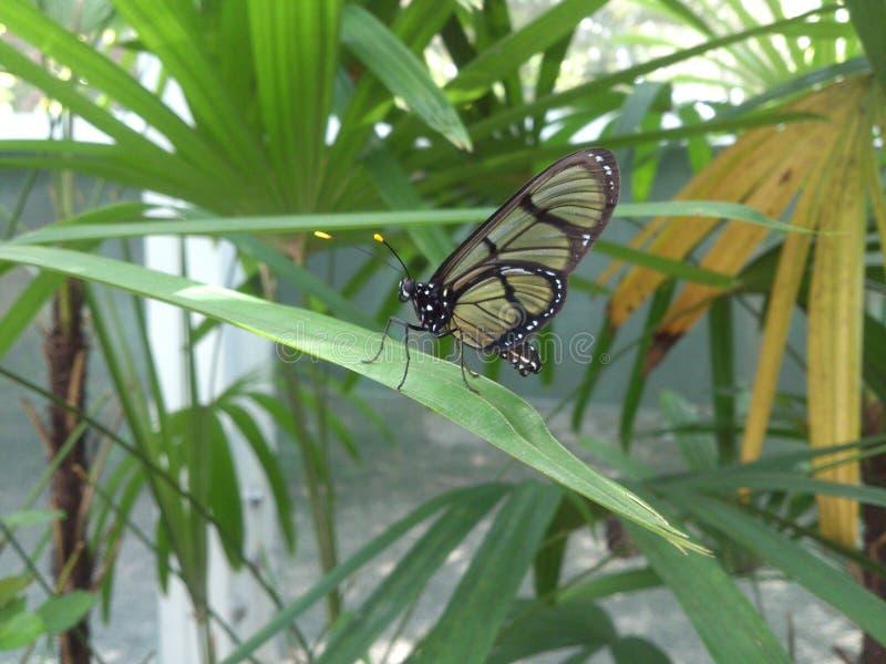Famille Ithomiidae de papillon image libre de droits