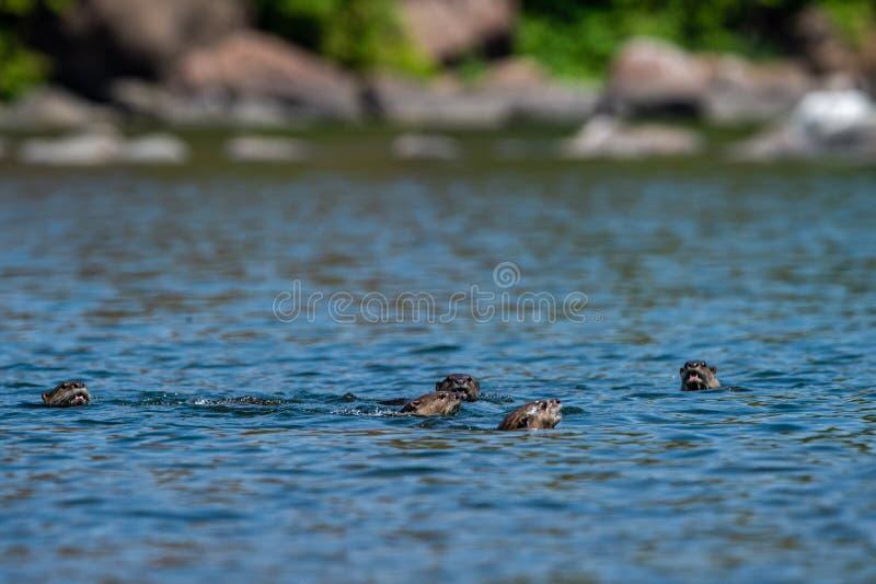 famille loutre ou de pers Lisse-enduits de Lutrogale jouant dans l'eau bleue de la rivière de ramganga au parc national de corbet image stock