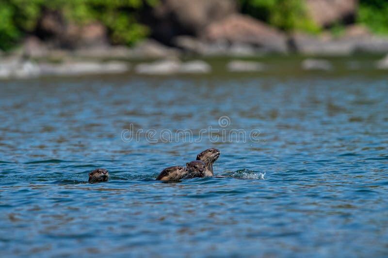 famille loutre ou de pers Lisse-enduits de Lutrogale jouant dans l'eau bleue de la rivière de ramganga au parc national de corbet photos stock