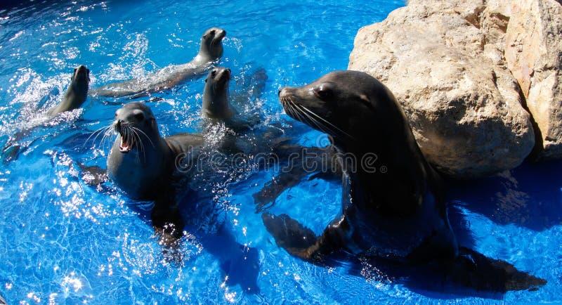 Famille marine de lion images stock