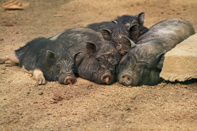 Famille mignonne de porc images libres de droits