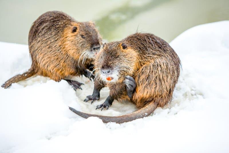 Famille sauvage de castors dans la neige photo stock