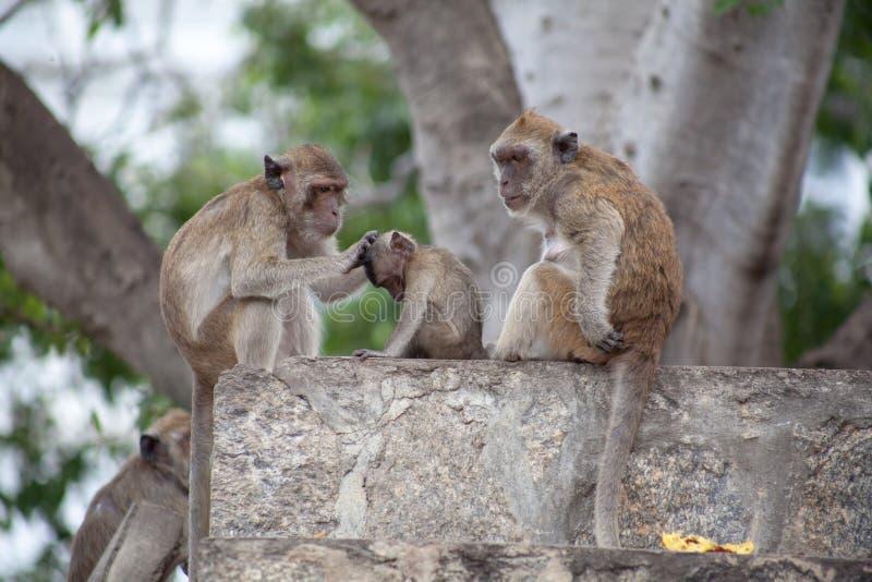 Famille thaïlandaise de singe dans le temple thaïlandais photos libres de droits