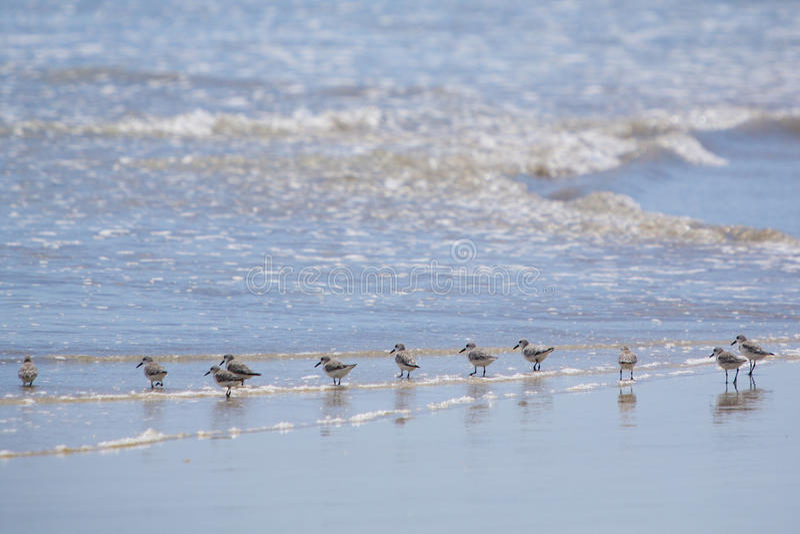 Familly de los pájaros del Sanderling que caminan en la playa Galagapos imagenes de archivo
