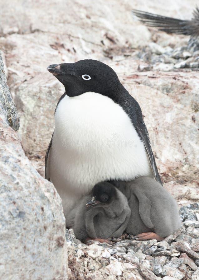 Family Adelie penguins. Family Adelie penguins (Pygoscelis adeliae royalty free stock images