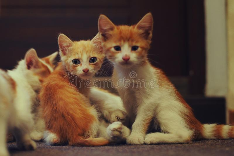 Family adorable ginger kittens in house royalty free stock photo