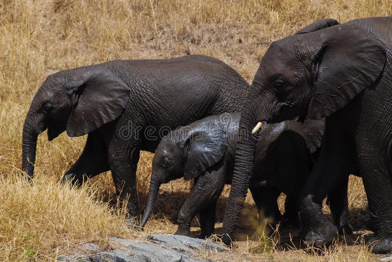 Family of African elephants with cute baby elephant in Tanzania, Africa. stock images