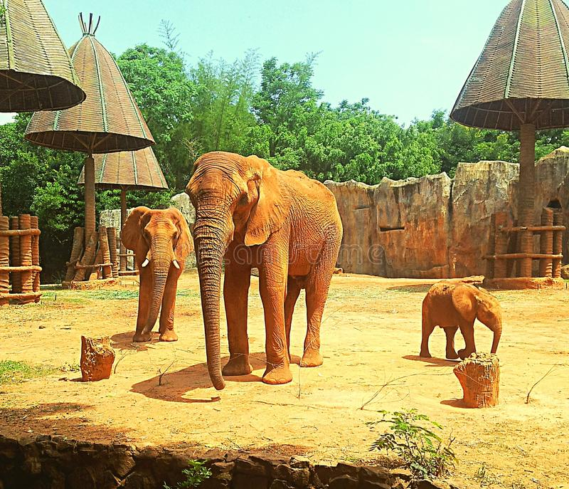 Family of African Elephants stock photography