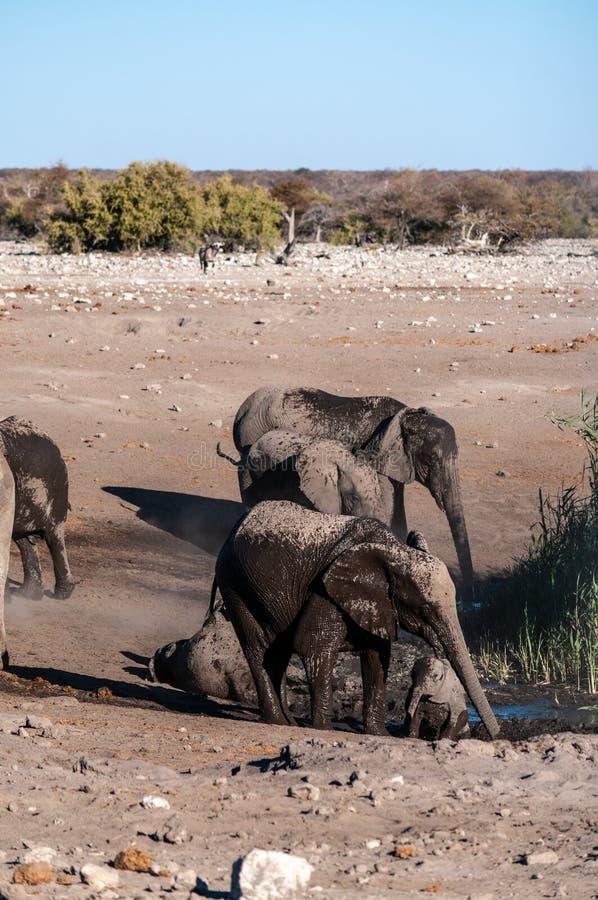 A Family of African Elephants near a waterhole in Etosha. A family of African Elephants -Loxodonta Africana- walking around a waterhole. Etosha National Park stock photography