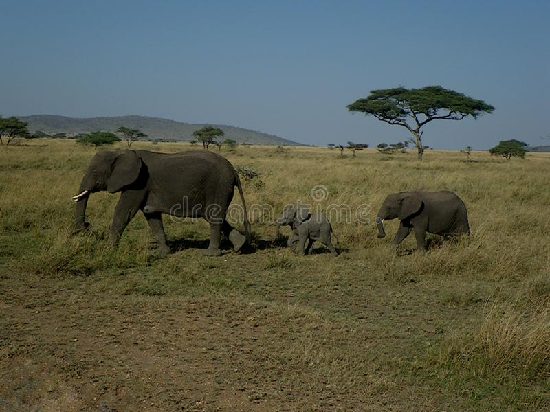 Family of african elephants walking in single file stock image
