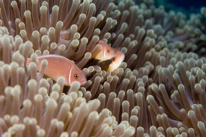 Download Family of Anemonefish stock image. Image of colorful - 11372349