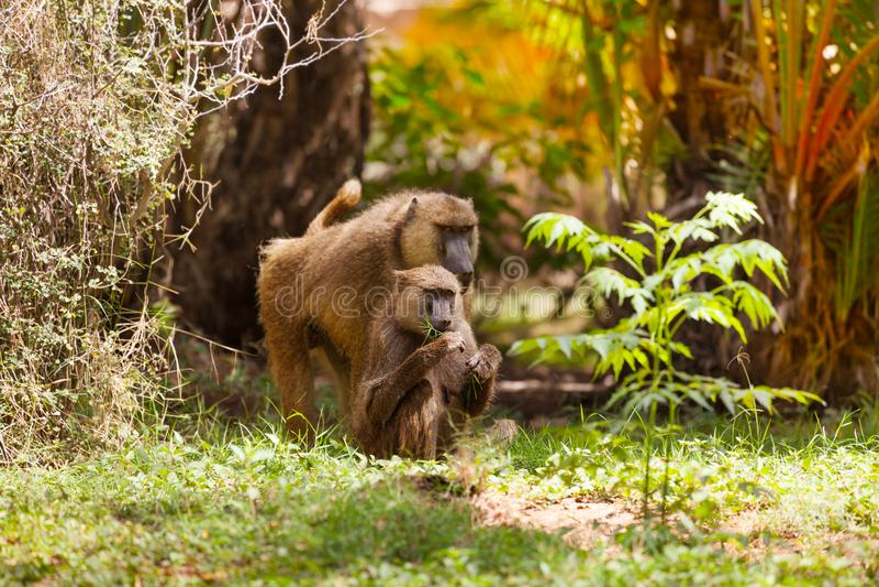 Family of Anubis baboon feeding in savanna bushes. Family of Anubis baboon feeding in savannah bushes, Kenya, Africa stock image