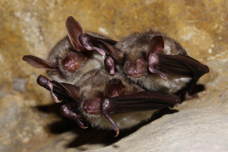 Download A family of bats stock photo. Image of cave, bats, family - 22720300