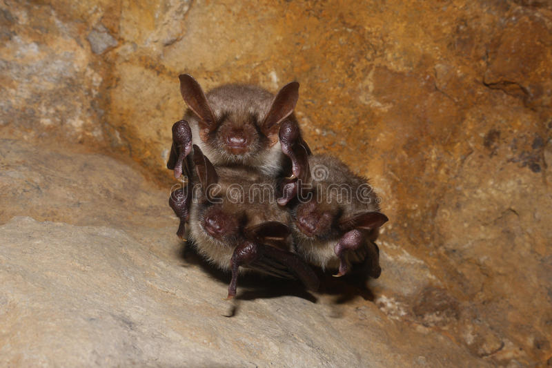 Download A Family Of Bats Stock Photography - Image: 22720312