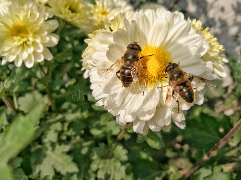 Bees on daisy flower head. Family bees on daisy flower head royalty free stock photos