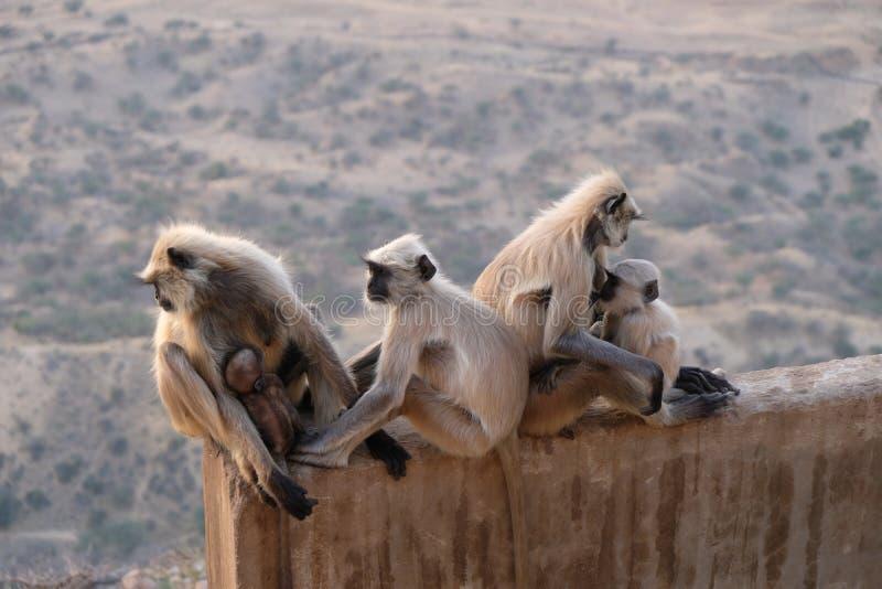 A family of black faces monkeys, India stock image