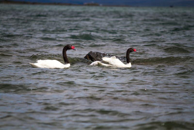 Family of black necked swan royalty free stock photo