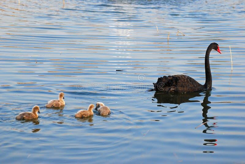 Family of black swan royalty free stock image