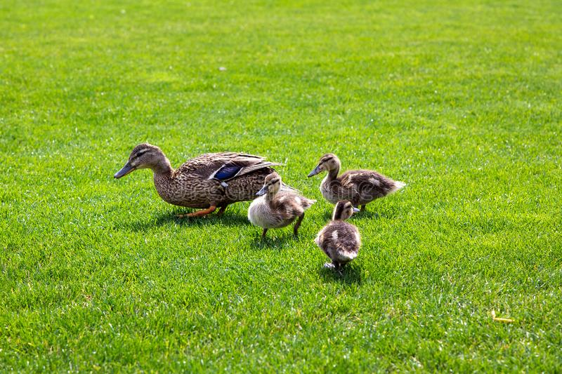 A family of brown ducks graze on a green meadow. stock photography