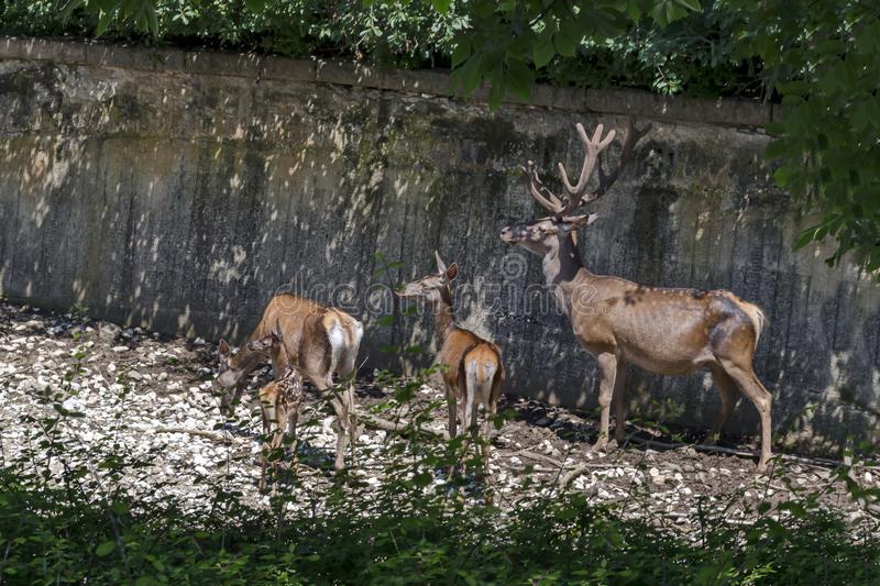 Family of buck also male red deer with female roe, hind or doe and fawn relax outdoor in field royalty free stock images