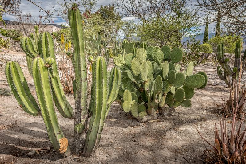 A family of cactus in the gardens of the archeological site of Mitla, Mexico. A family of cactus in the gardens of the archeological site of Mitla, Oaxaca royalty free stock images