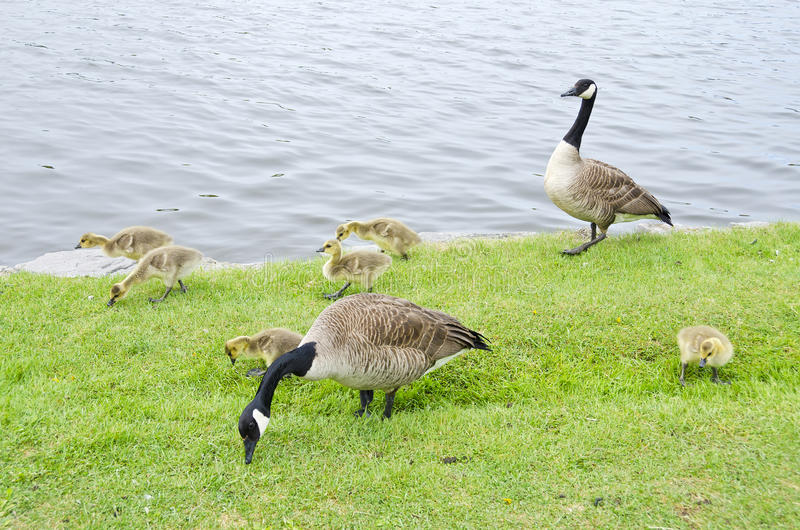 Family Of Canada Geese By The River #1 Stock Photos