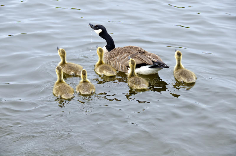 Download Family Of Canada Geese In The River #1 Stock Photo - Image of black, ottawa: 24813408
