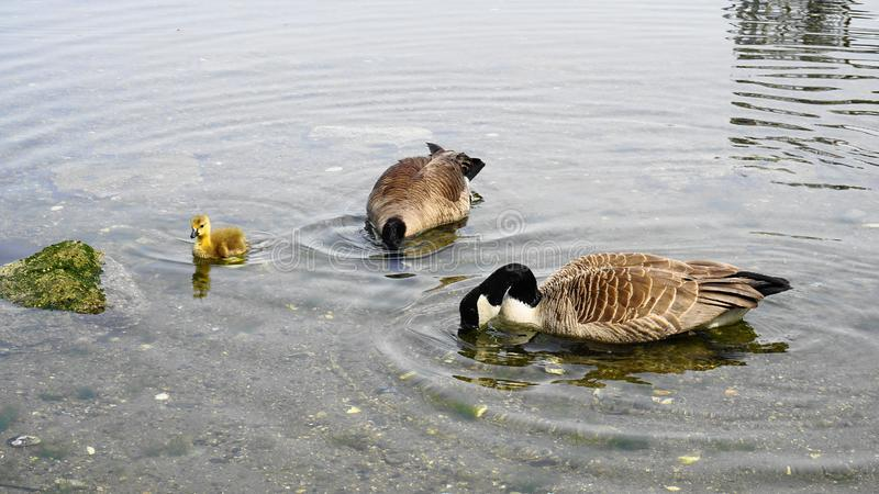Family of Canadian geese with young gosling with yellow plumage swim in water close up. Pacific ocean background stock photography