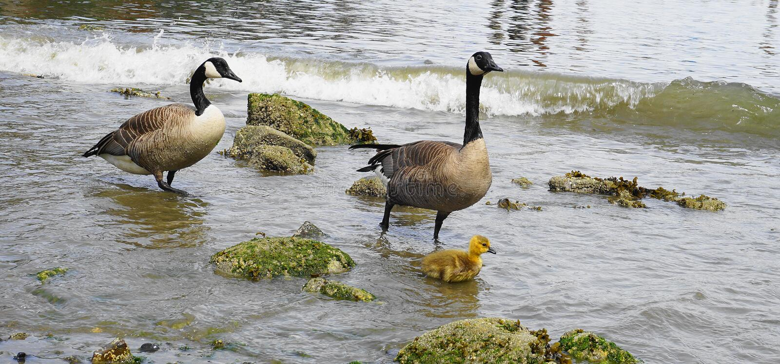 Family of Canadian geese with young gosling with yellow plumage swim in water close up. Pacific ocean background royalty free stock photos