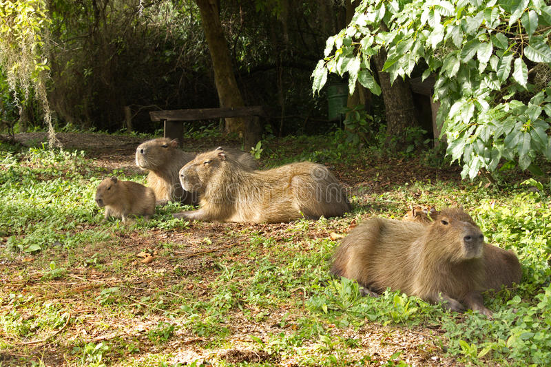 Family of capybaras in the wild nature in South America royalty free stock photography