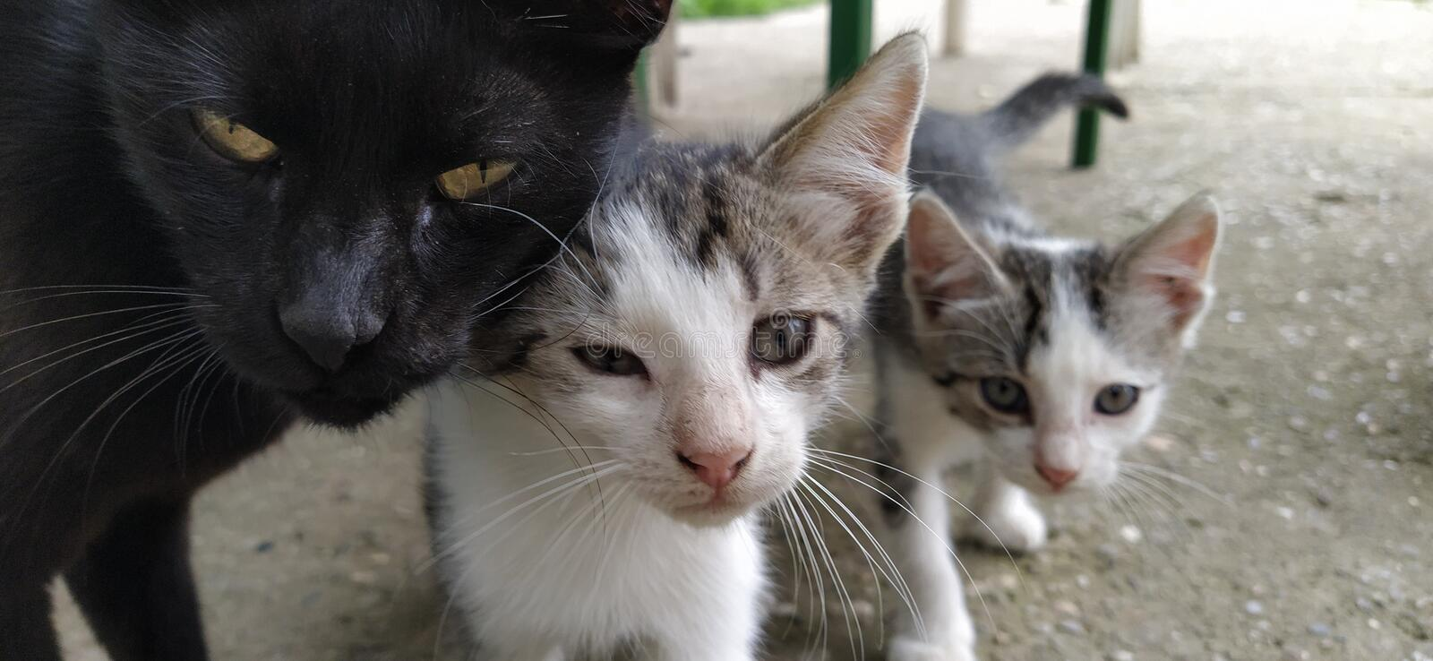 Family of cats. Black mother cat and two white-gray striped kittens. Animals on the street. The cat and kittens caress and rub. Their heads against each other royalty free stock images
