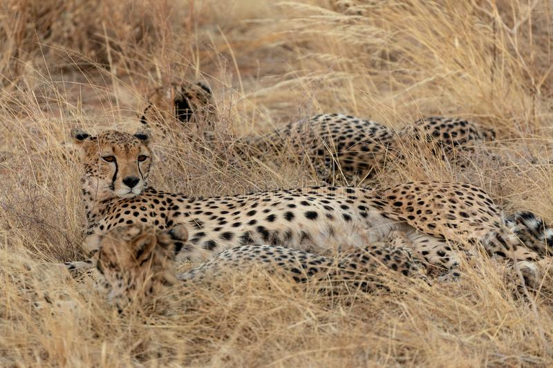 Family of cheetahs, in the grasslands, in the Masai Mara, Kenya, Africa royalty free stock photo
