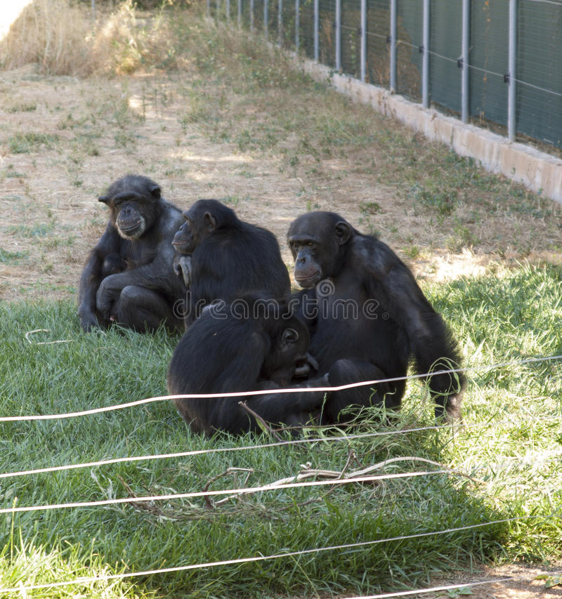 Family of chimps sitting on some green grass , relatives. Photo royalty free stock photography