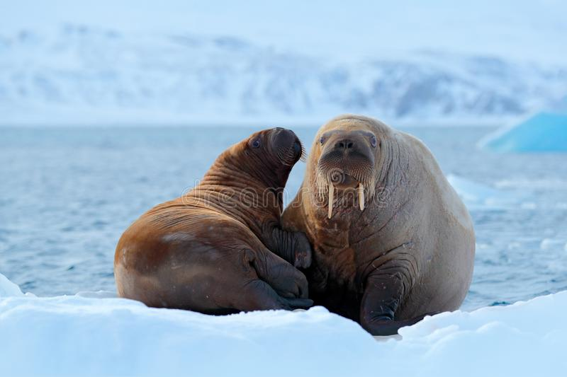 Family on cold ice. Walrus, Odobenus rosmarus, stick out from blue water on white ice with snow, Svalbard, Norway. Mother with cub. On ice royalty free stock photography