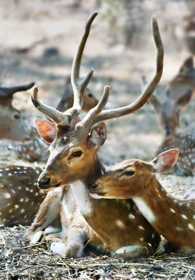 Family of deer stock photo