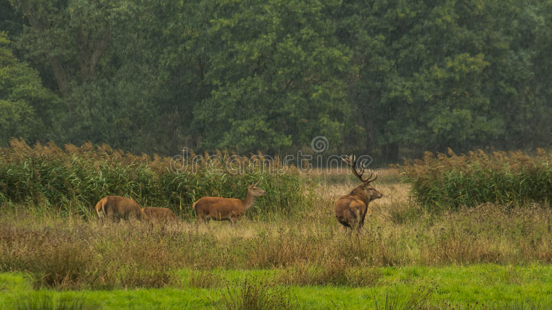 Family deer royalty free stock photography